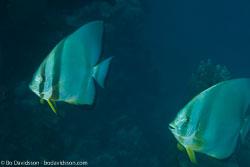 BD-120425-Marsa-Alam-6498-Platax-orbicularis-(Forsskål.-1775)-[Orbicular-batfish].jpg